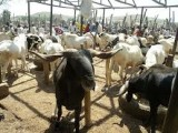 Eid-el-Kabir: Prices of rams soar in Ile-Ife, Modakeke