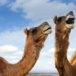 Camel owners threaten to sue Health Ministry, others