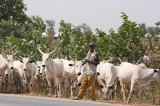 16 cattle rustlers arrested in Plateau – STF
