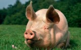 EU takes Russia to WTO over ban on pork imports