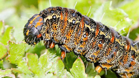 Pasture_day_moth_caterpillar_closeup