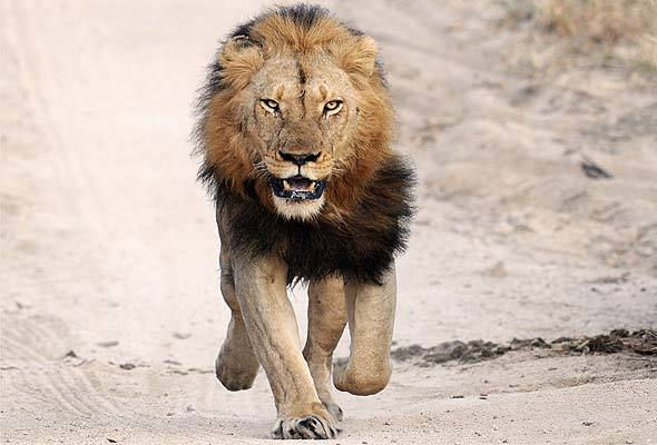 Lions eat two rhino poachers on South African game reserve