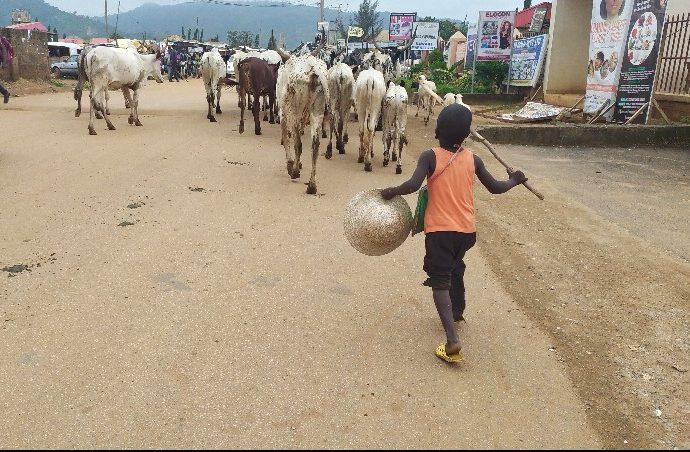 Controversy as Miyetti Allah denies knowledge of Ondo anti-open grazing bill