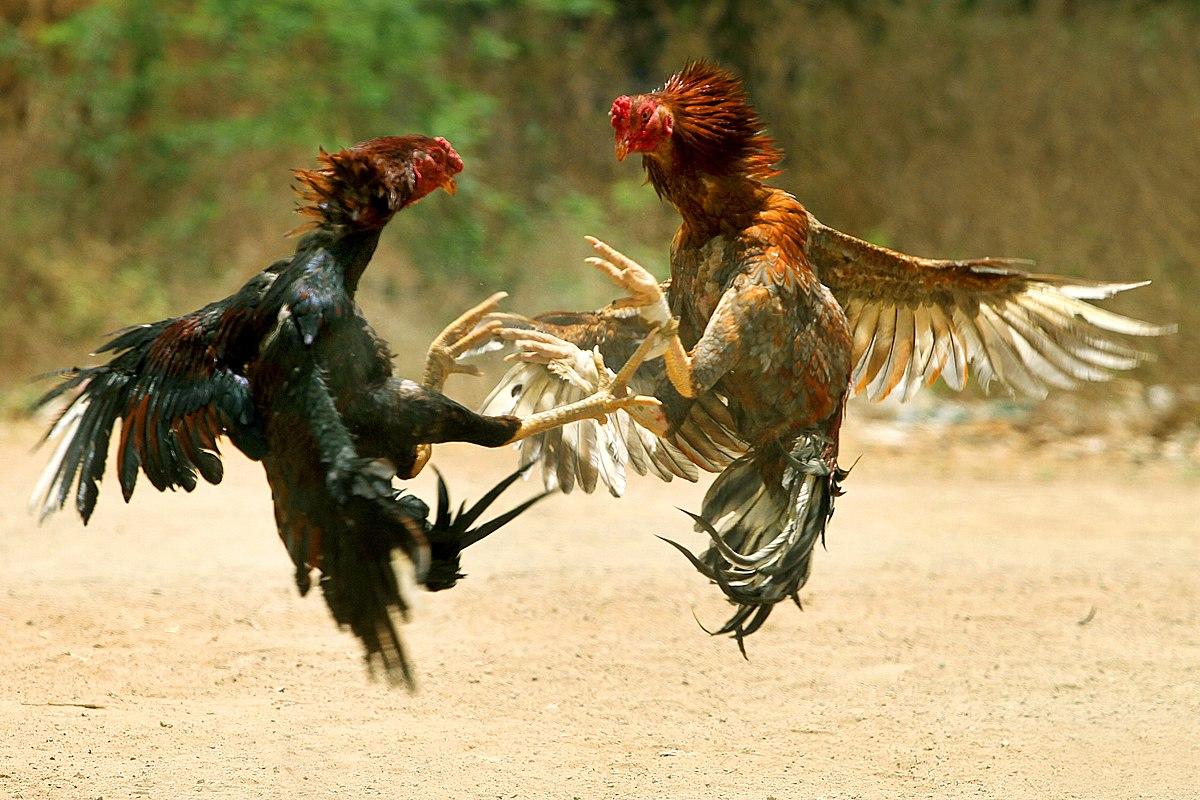 Beberapa Jenis Ayam Aduan Bangkok Terbaik di Dunia